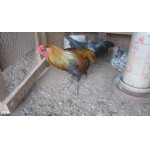 8 Rare Liege  Belgium Gamefowl Chicks