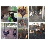 12 chick rare breed mixed box